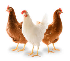 poules (1)